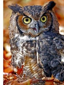 Great Horned Owl Arizona Small Dogs