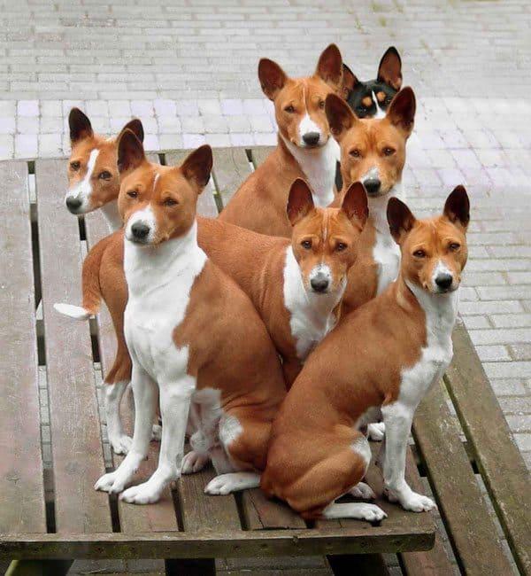 Dog Files Fact: Basenji - Dog Files