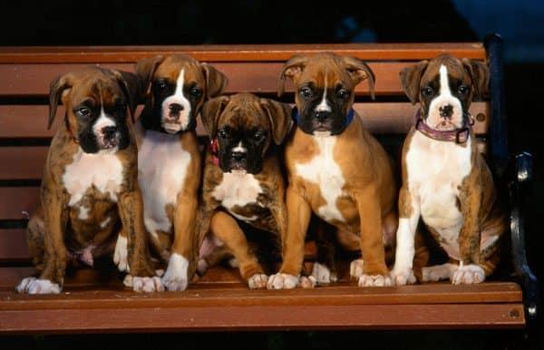 Boxer_Puppies