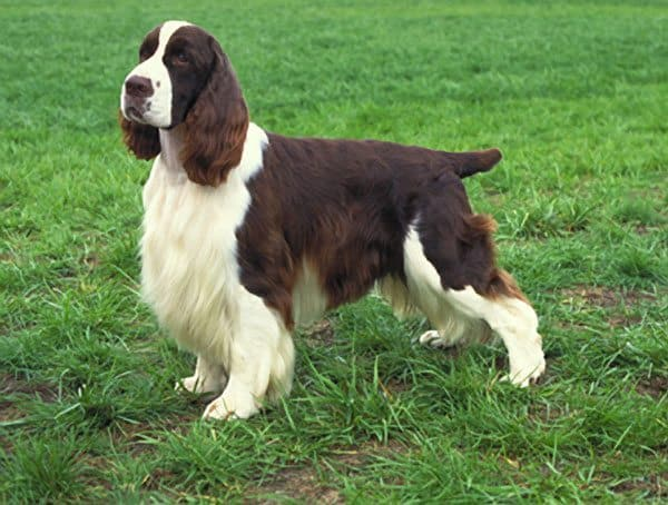 English Springer Spaniel. The Origins of the Spaniel: