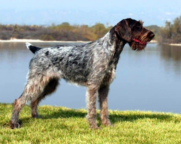 German-Wirehaired-Pointer-1