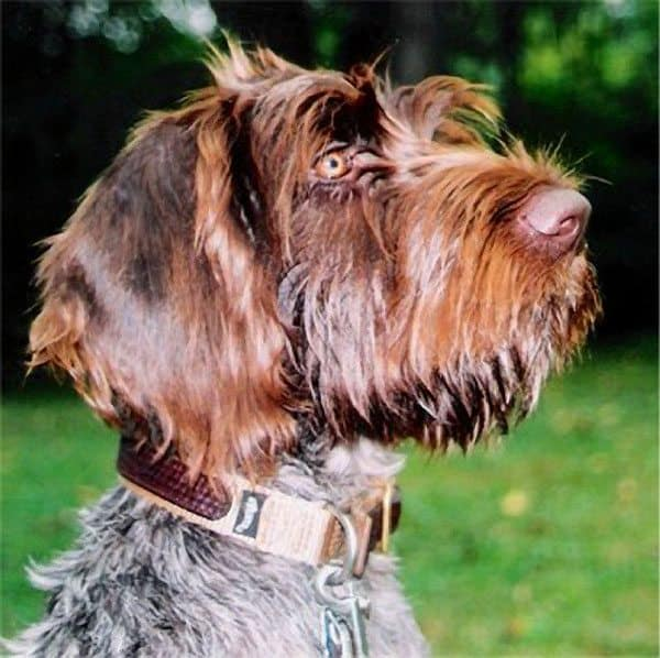 German-Wirehaired-Pointer-2
