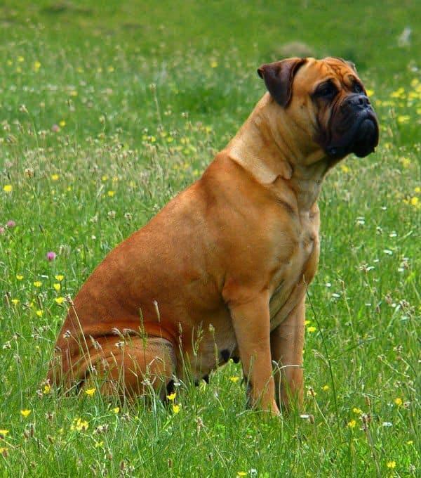 Dog files fact bullmastiff dog files