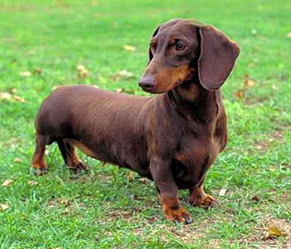 Dog Files Fact: Dachsh...