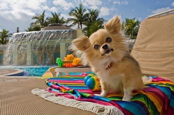 long haired chihuahua pictures. long-haired-chihuahua
