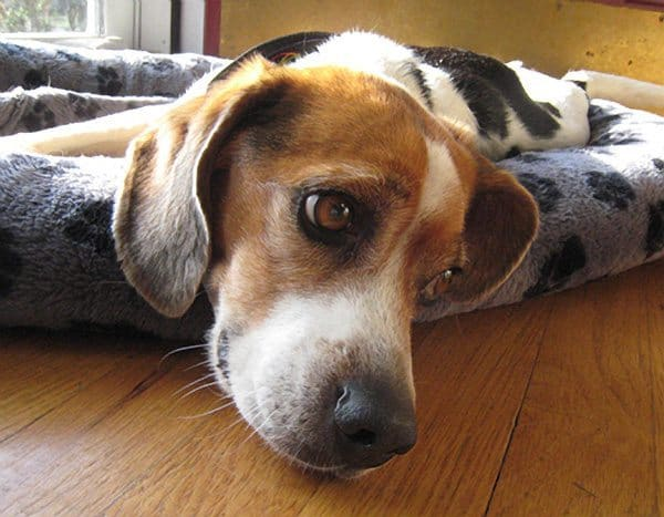 Buddy, a four-year-old beagle, was reunited with his New Jersey family on Monday after 98 days spent on an uninhabited New Jersey island.