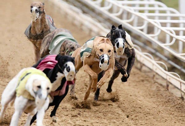 "Greyhounds zoom around the track at Kenosha's Dairyland Greyhound Park. which will close Dec. 31. ""Stand-alone greyhound tracks have gone the way of pay phones and eight-track cassettes,"" says Dairyland's executive vice president, Roy Berger."