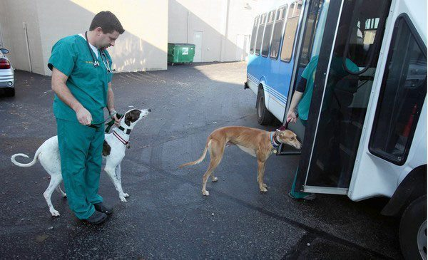 Newly retired racers Aaron, left, and Izzy are led onto Midwest Greyhound Adoption's bus after a visit with the veterinarian. (Photo by Chuck Berman)