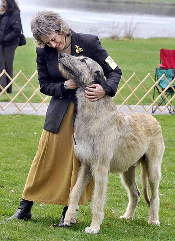 Walking Tall At The Irish Wolfhound Competition Dog Files