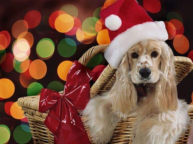 Dog Photography #21: Christmas Dogs