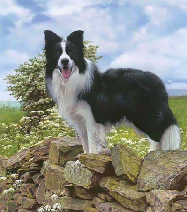 Is A Border Collie The Right Breed For You?