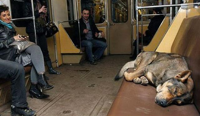Dog Naps On Moscow Train 2