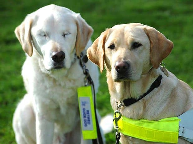 What Happens When A Seeing Eye Dog Goes Blind?