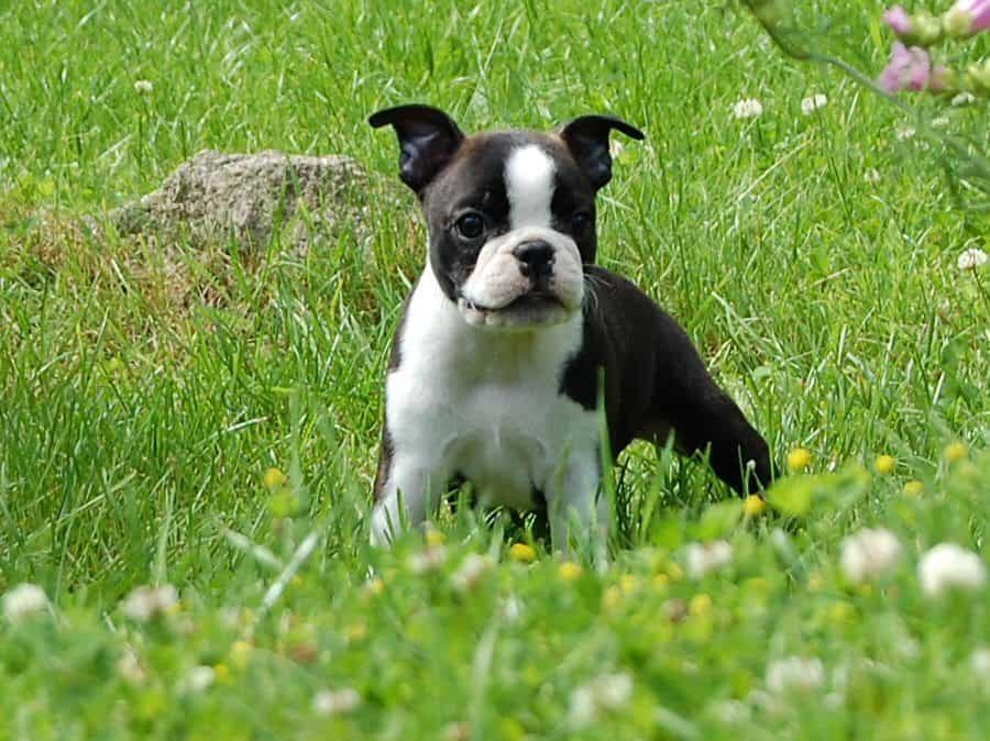 Boston Terrier Puppy's First Steps Down Stairs: Cute Video
