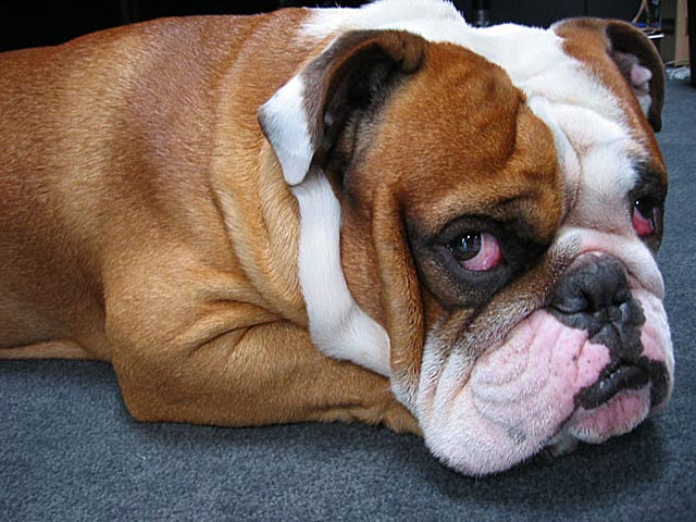 Bulldogs Banned On All Delta Airline Flights
