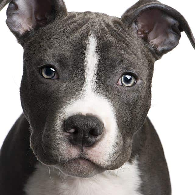 Austin, Texas Implements First Ever Pit Bull Therapy Dog ...