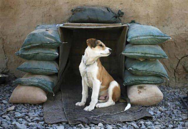 Afghan Pup