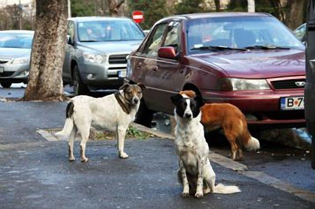 bucharest stray dogs