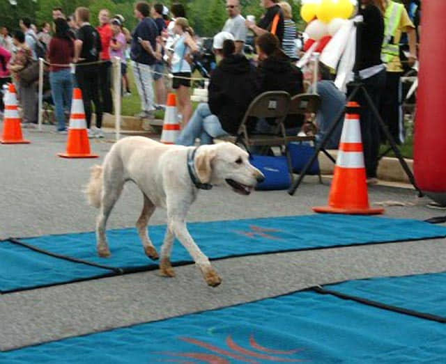 Dog Runs Maryland's Half Marathon… By Himself