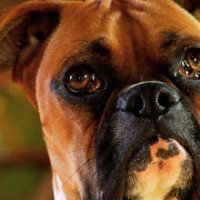 13-Boxer-Rescue-DF-Thumb-Small