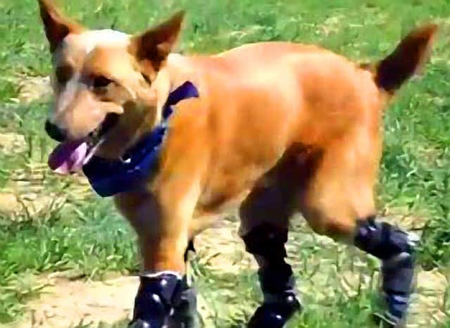 World's First Dog With Four Prosthetic Paws