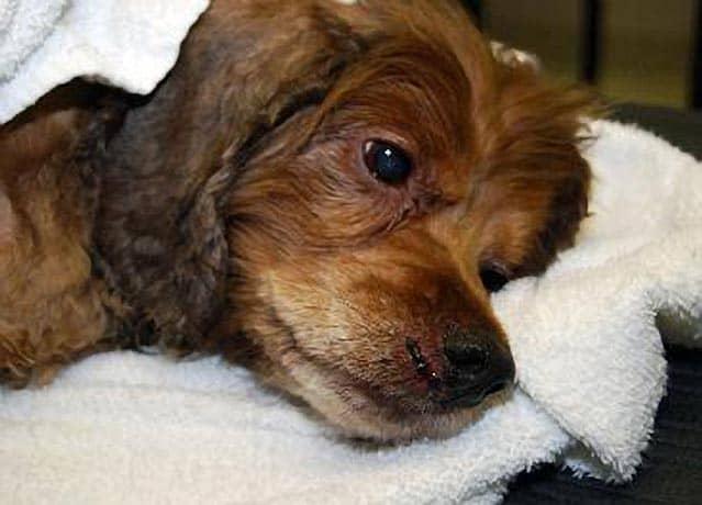 Paralyzed Missouri Tornado Dog Walks Again