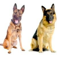 File Photo: Belgian Malinois on left, German Shepherd on right.