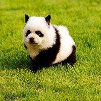 China Panda Dog