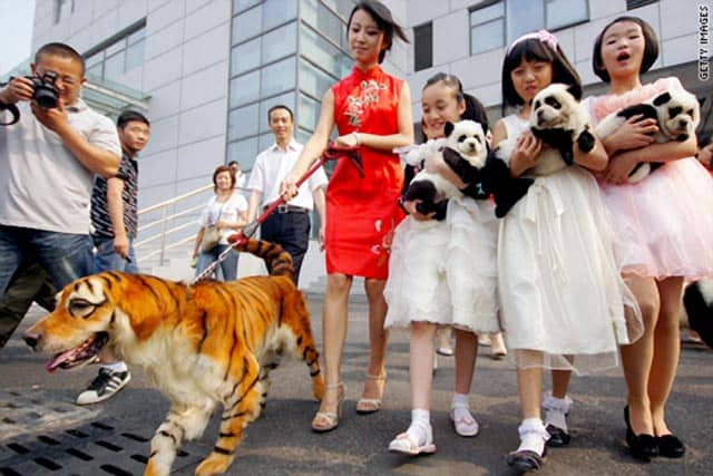 China Tiger Dog