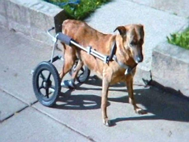 Massachusetts Pet Owner Says Disabled Dog's Wheelchair Was Stolen