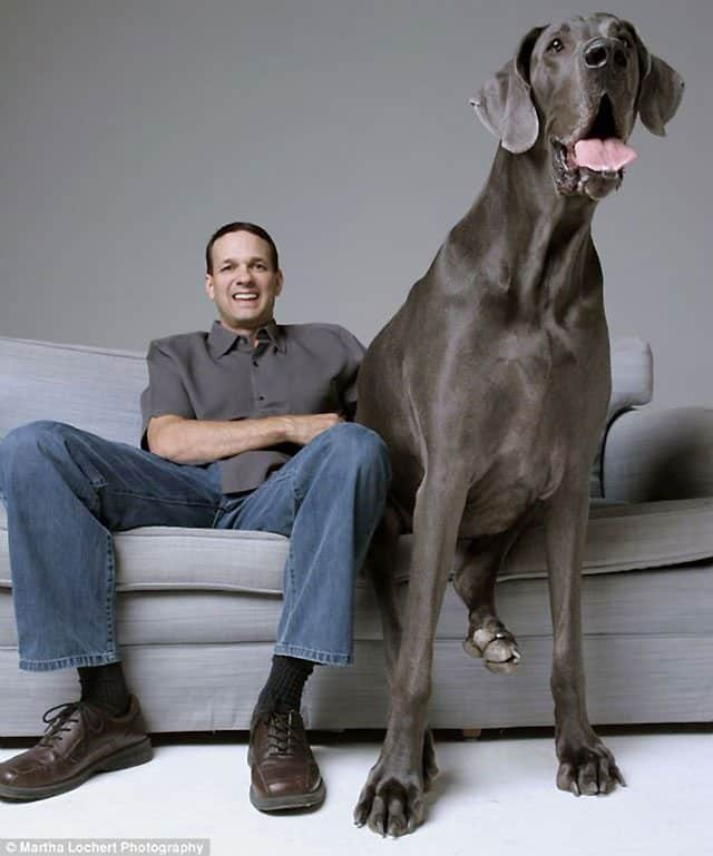George The Great Dane Is World's Biggest Dog But He's Terrified Of Water