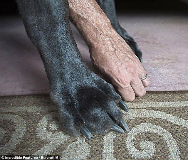 George's giant paw dwarfs Dave's hand