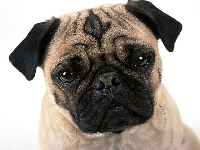 Pug-Nosed Dogs Banned On More Airlines