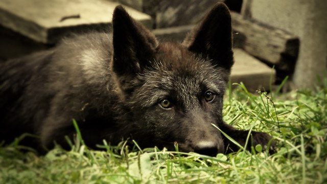 Zephyr & Alawa, New Wolf Cubs At The Wolf Conservation Center