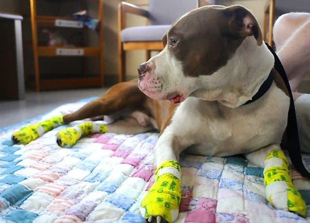 Pennsylvania Pit Bull Suffers Burns While Stranded On Hot Roof
