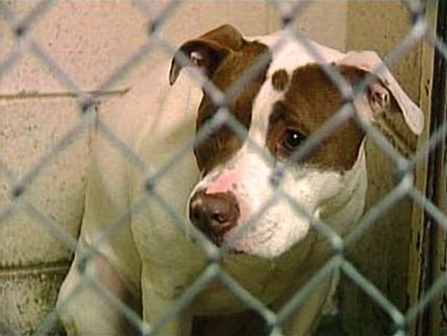 "Ohio Removes ""Pit Bull"" From Vicious Dog Definition"