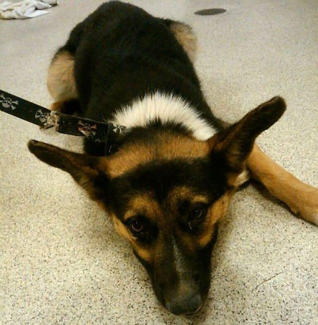$500 Reward Offered In Crossbow Attack On German Shepherd In Riverside, CA.
