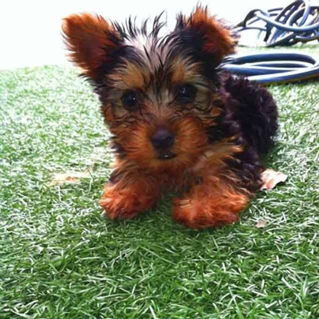 Ozzy Osbourne's 10k Rescue Puppy