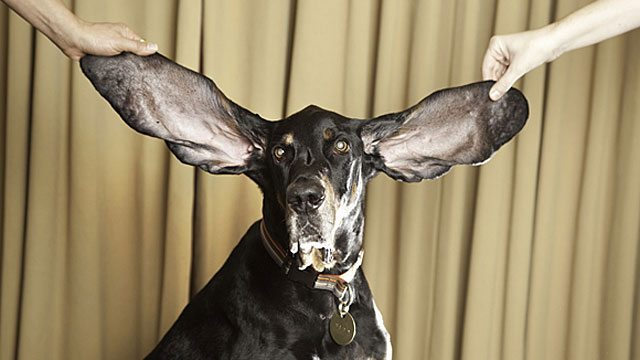 Meet The Dog With The Biggest Ears In The World