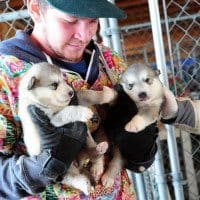 Malamute puppies rescued from montana puppy mill