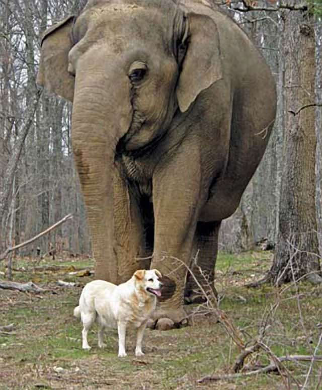 Elephant Mourns The Loss Of Best Friend, Bella The Dog