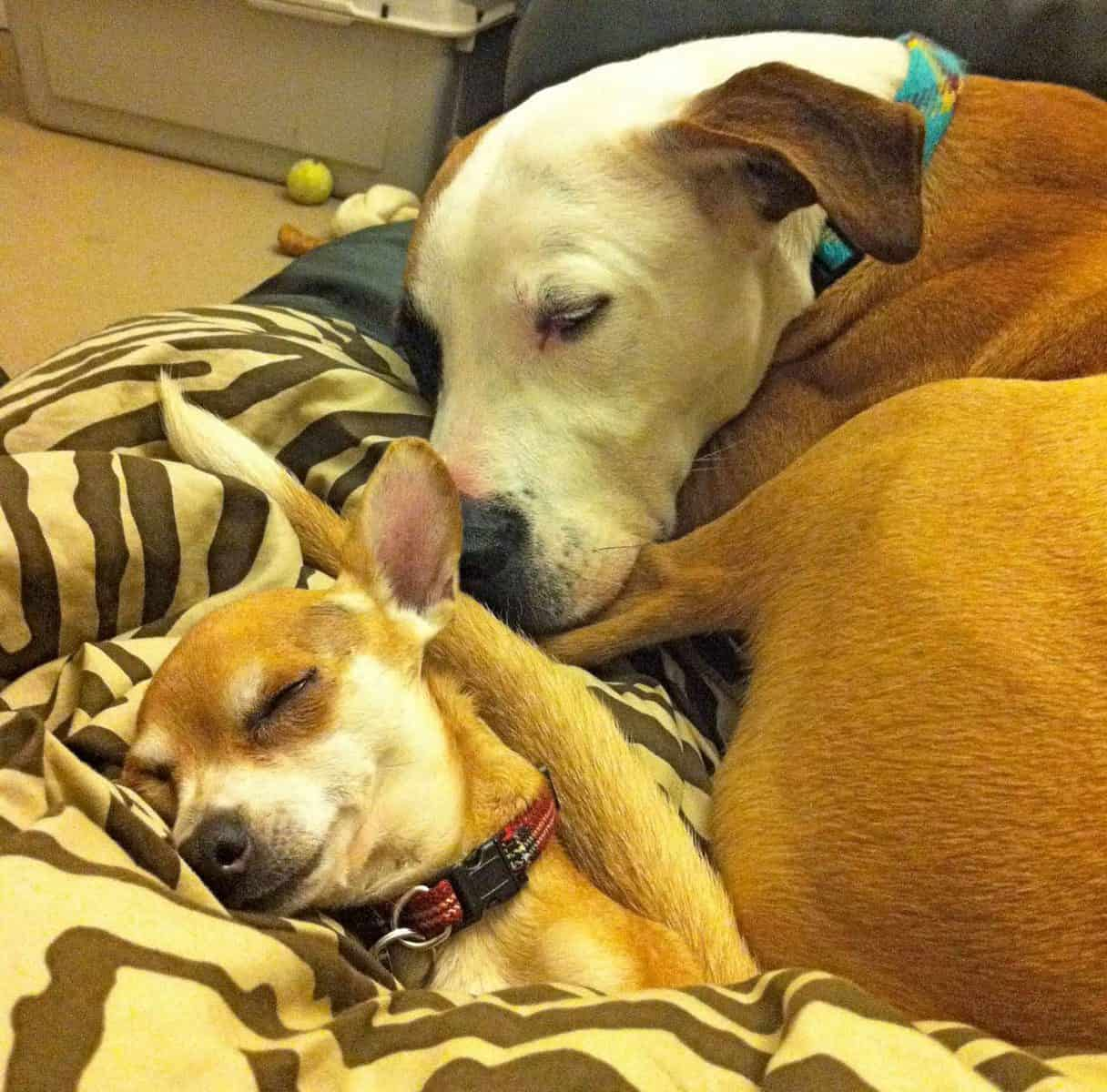 The Story Of Arnold And Dearheart, A Pit Bull And Chihuahua That Need A Home