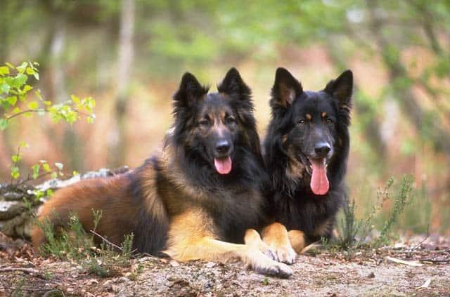 New Epilepsy Gene Located In Dogs