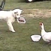 Dog defends dog bowl from Duck.