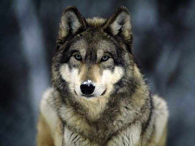 The Importance Of Protecting Wolves: Video