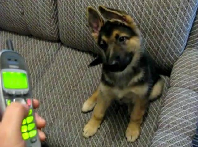Herbie The German Shepherd Pup Loves Ringtones: Cute Video