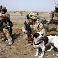 British War Dog