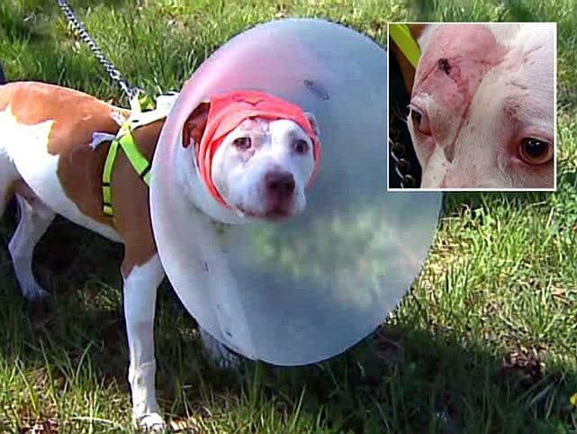 Pit Bull Survives Bullet To The Head While Protecting Owner