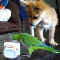 Chihuahua Vs. Parrot In The Battle For Supremacy: Cute Video