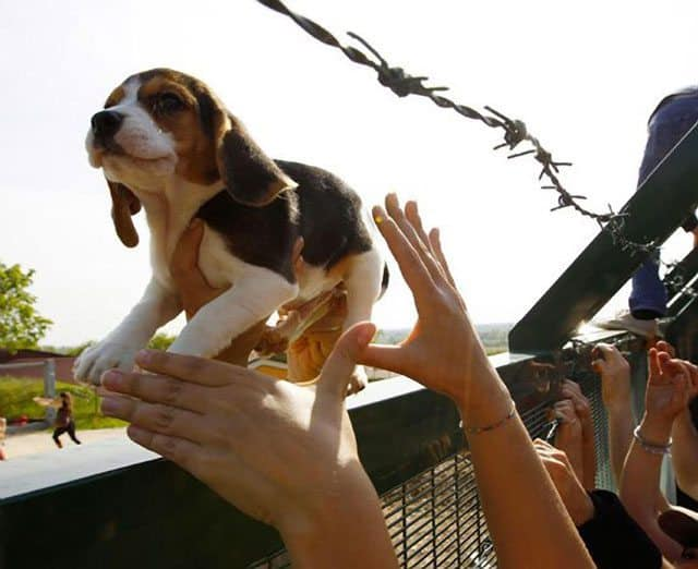 Italian Activists Storm Research Facility, Rescue 30 Beagles